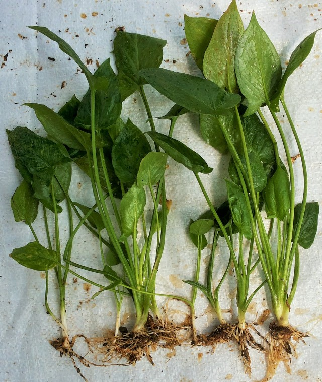Harvesting rodent tuber mutant clone 6-1-2